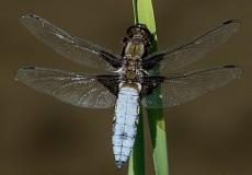 Blue Dragon Fly