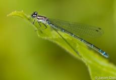 Damsel Fly On Leaf