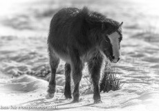 Gower Pony In The Snow