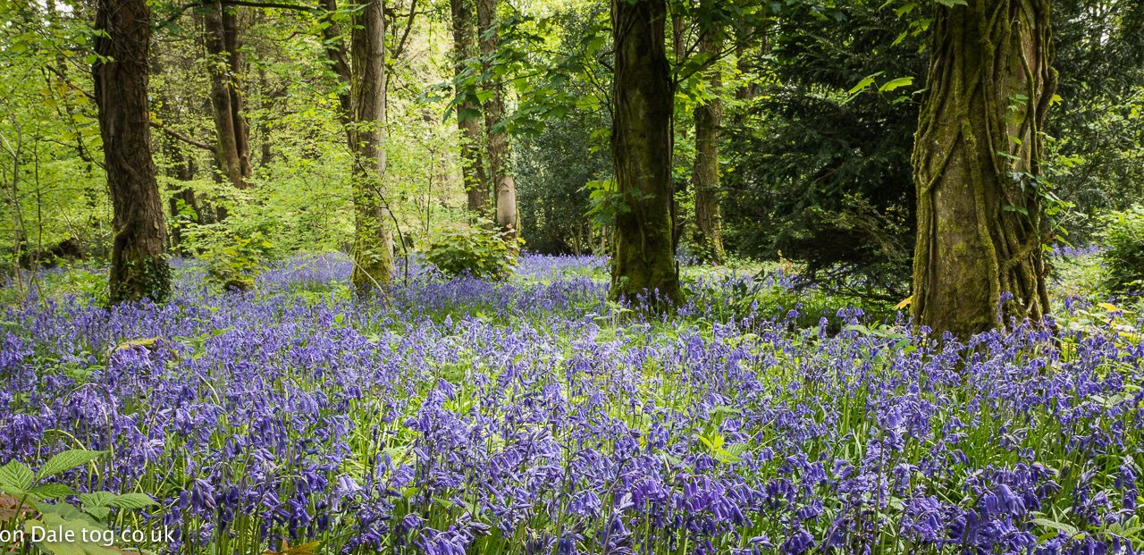 Bluebells In Penllergaer Woods