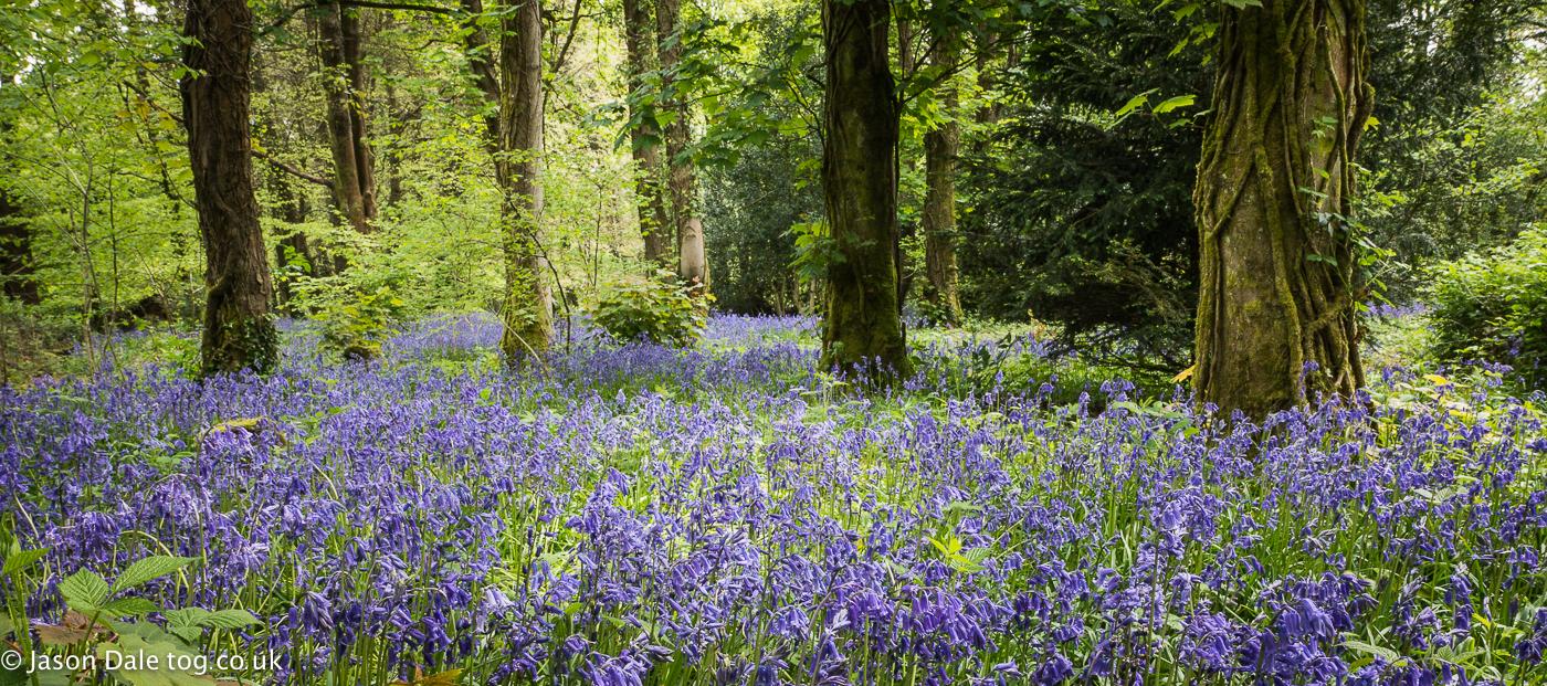 Bluebells In Penllergaer Woods
