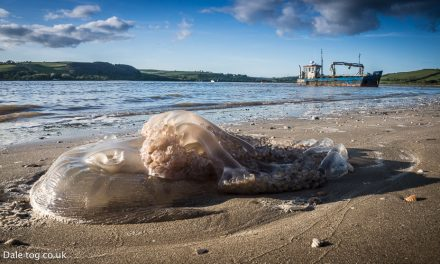 Giant Jellyfish Invades South Wales