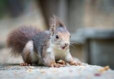 Spanish Squirrel