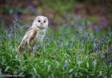 Tawny Owl In Bluebells