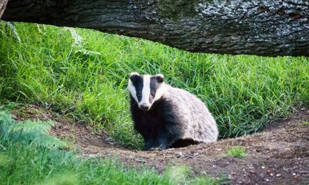Badger Watching At Dinefwr