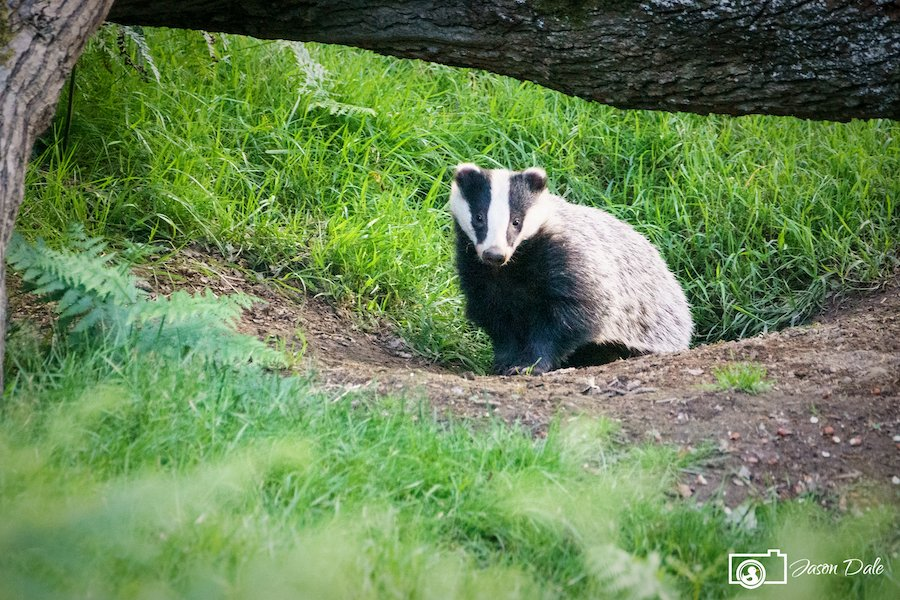 Badger At Dinefwr