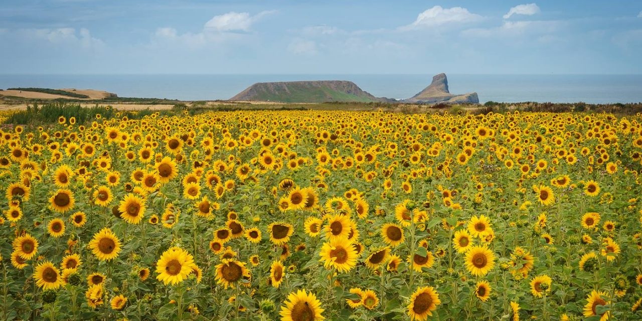 Sunflowers At Rhossili