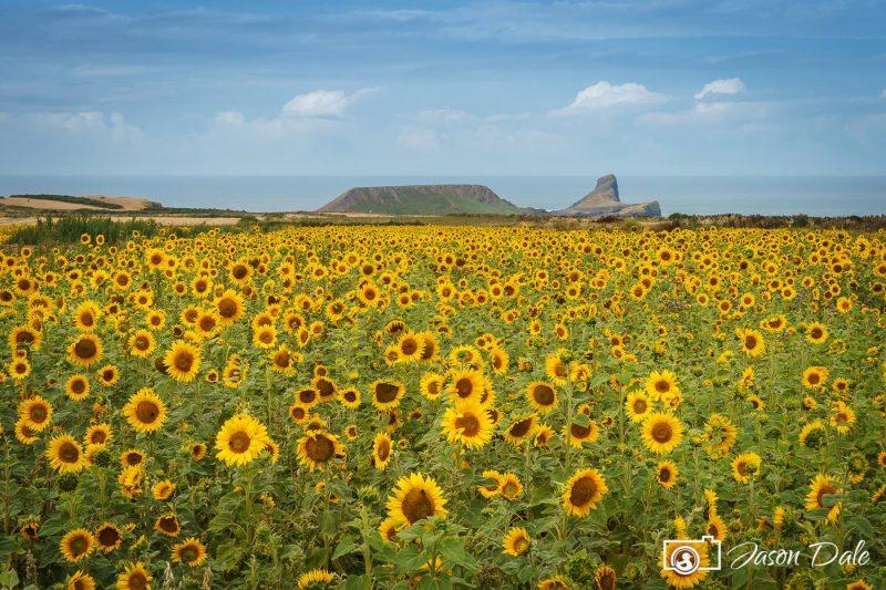Sunflowers at Rhossili