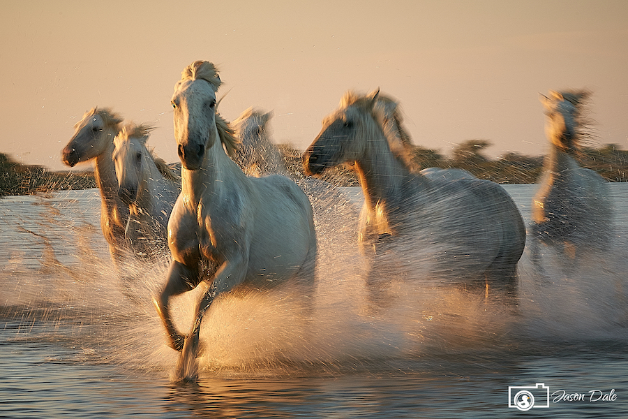 White Horses Of Camargue