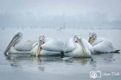 Pelican Huddle
