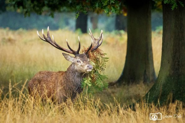 Richmond Park Deer Rut