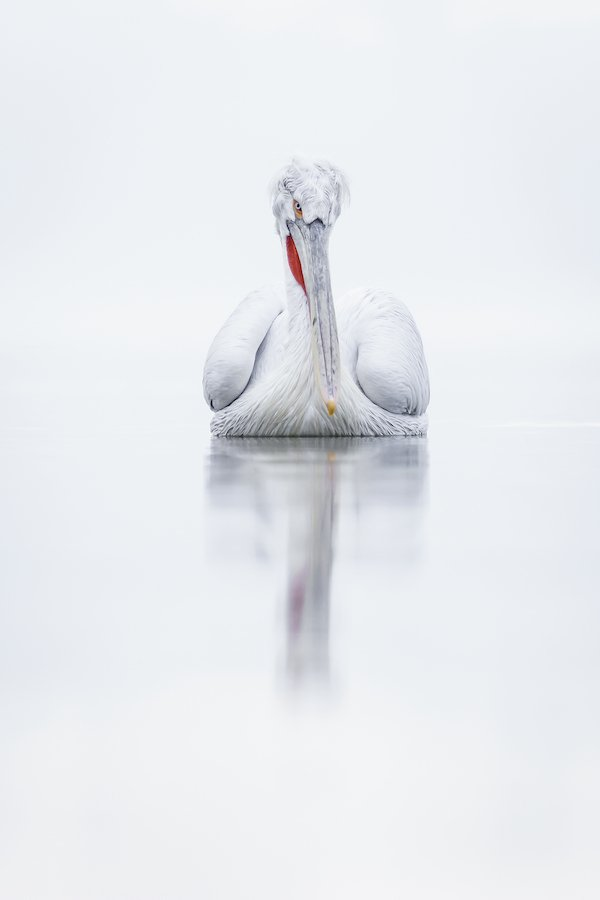Silver Pelican Portrait