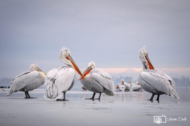 Pelicans On Ice