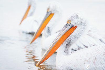 High Key Pelicans