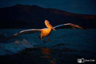 Sunrise Pelican