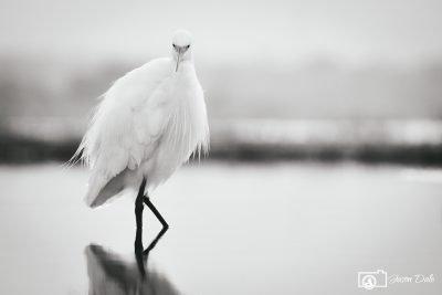 South Africa Egret