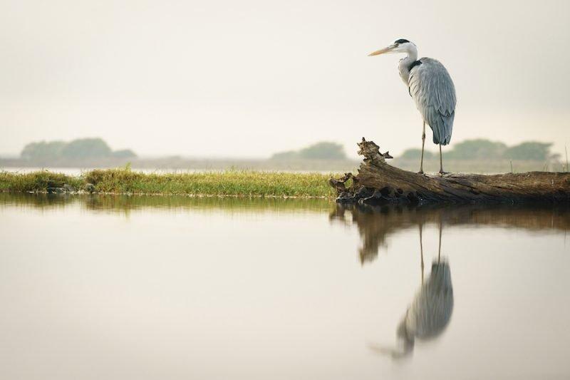 Heron On Log