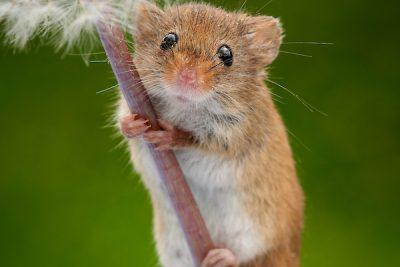 Mouse On A Dandelion