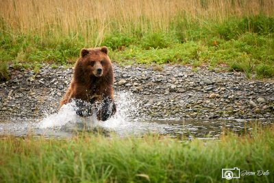 Splashing Bear