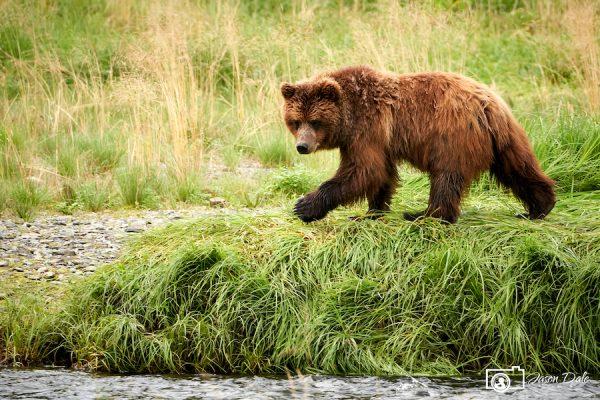 Alaskan Bear Of Pack Creek