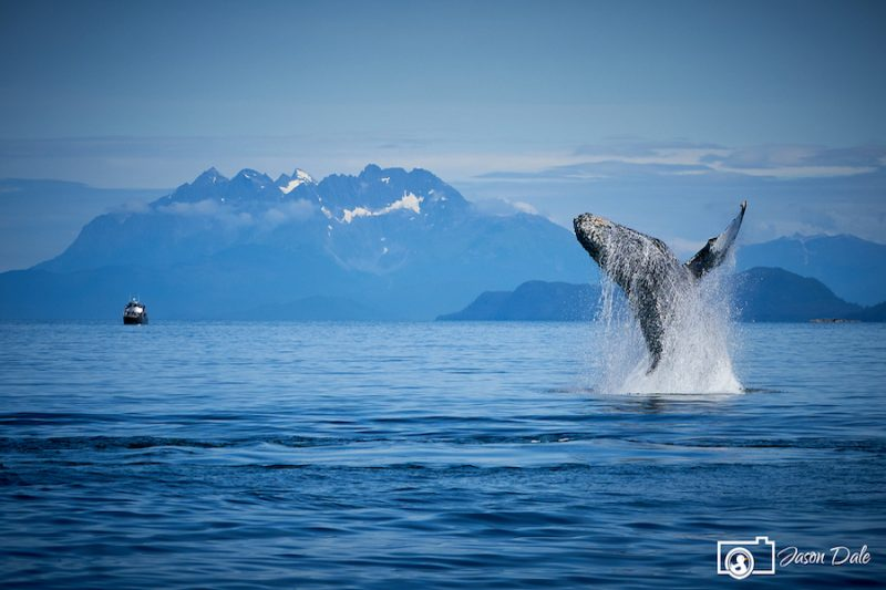 Alaskan Humpback Whale
