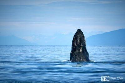 Bob The Humpback Whale