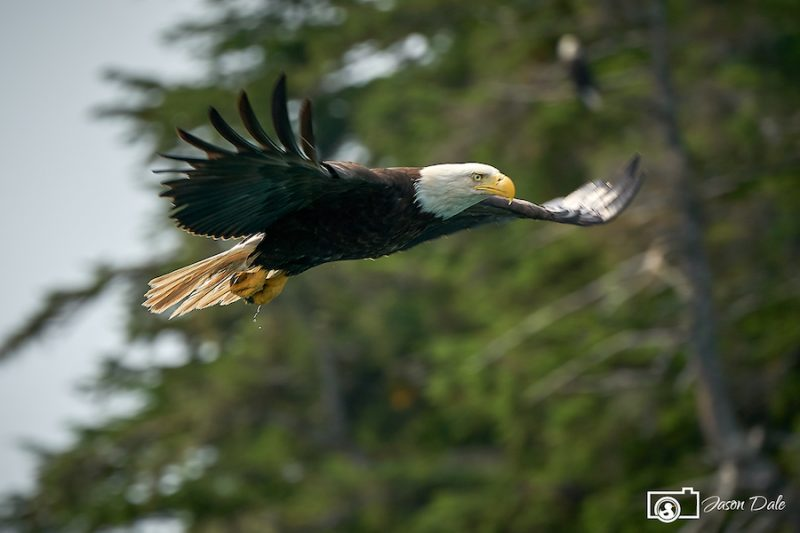 Alaskan Eagle In Flight