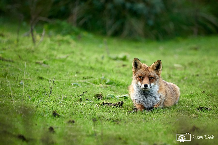 Red Fox Of Zandvoort