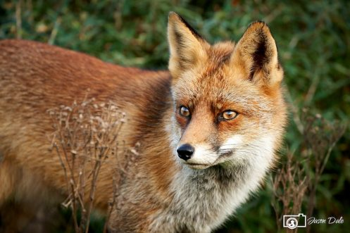 Red Foxes Of Zandvoort