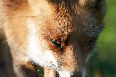 Red Fox Close Encounter
