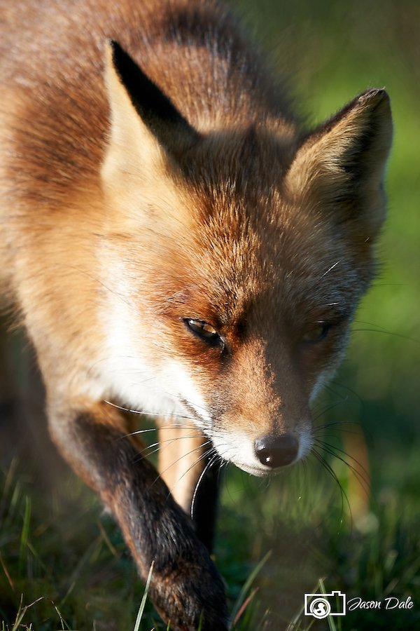 Red Fox Close Encounter