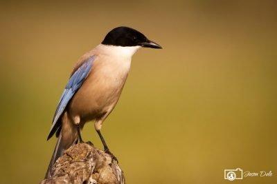 Azure Magpie
