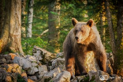 Slovenia Brown Bear