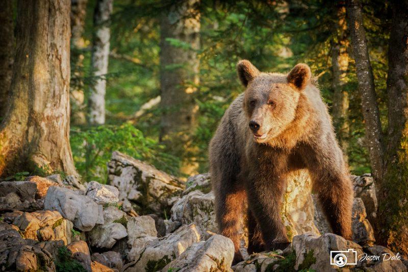 Slovenia Brown Bear