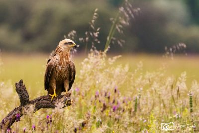 Golden Eagle Calera