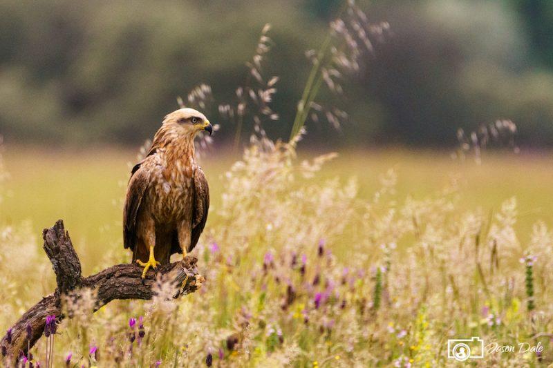 Golden Eagle Calera
