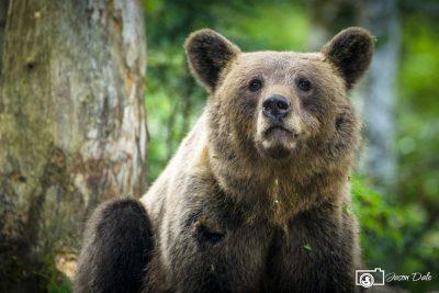 Slovenia Bear