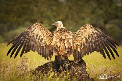 Sunning Vulture