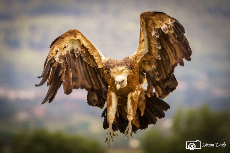 Calera Vulture